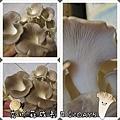 秀珍菇成長日記5