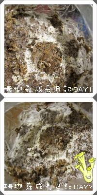 珊瑚菇成長日記1