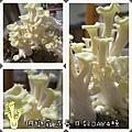 珊瑚菇成長日記3