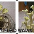 珊瑚菇成長日記4