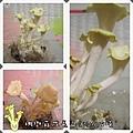 珊瑚菇成長日記5