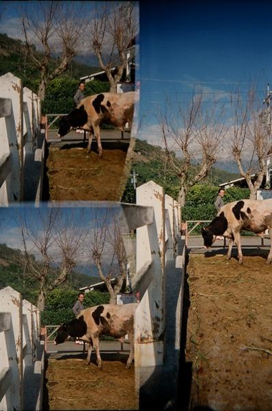 親愛的乳牛@花東