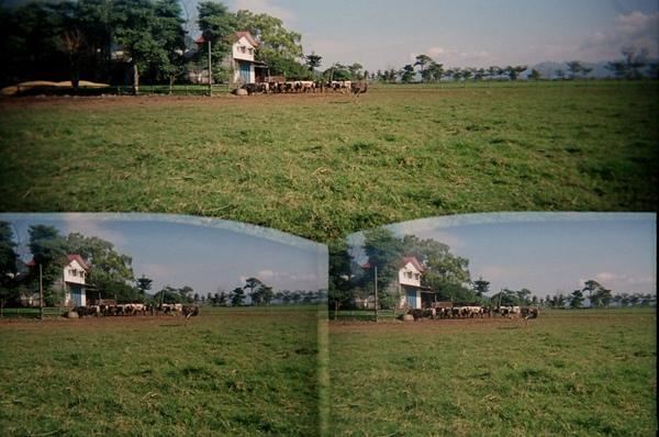 遠處的牛@花東