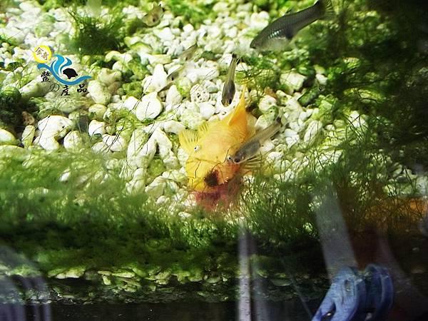 金奇-鱉の產品