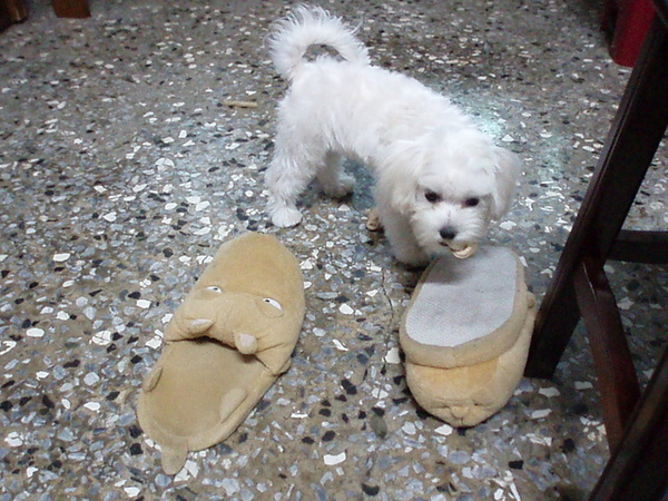從哥哥回去後就很喜歡咬他的拖鞋出來