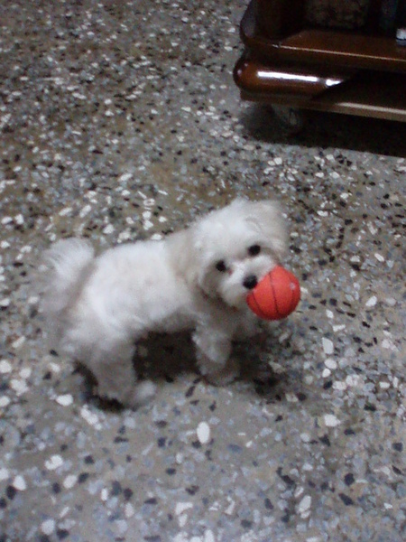 他會把這顆球咬的啾啾叫