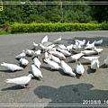 白鴿.jpg