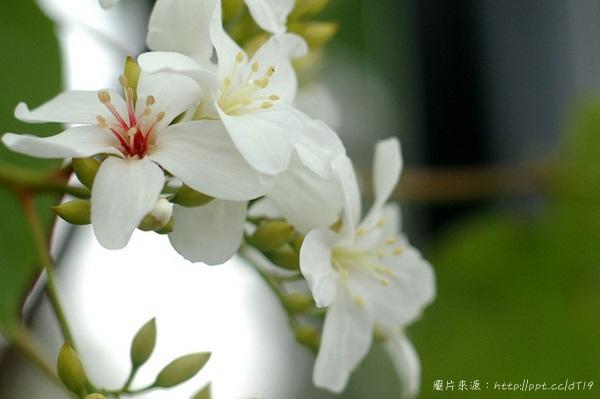 台中賞桐花景點