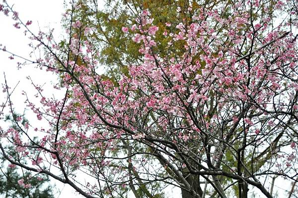 2016中部櫻花景點