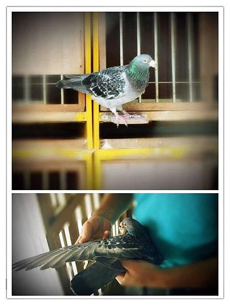 銘鴿:冠鳴鴿舍超級種公B97-3039170