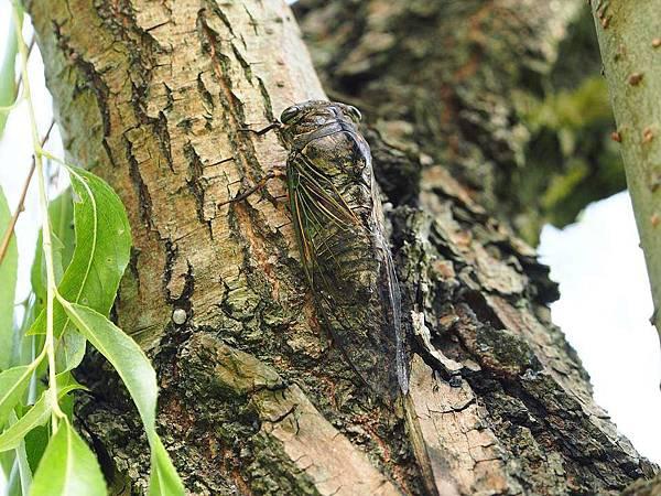 cicadas-1107805_960_7201.JPG