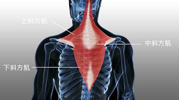 258530343-斜方肌-肌肉-解剖学-肩.jpg