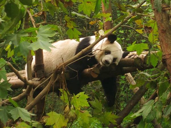 四川行〈一〉:熊貓基地.三星堆.都江堰.寬窄巷子