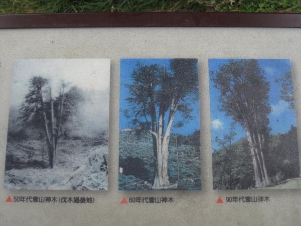 雪山神木40.JPG