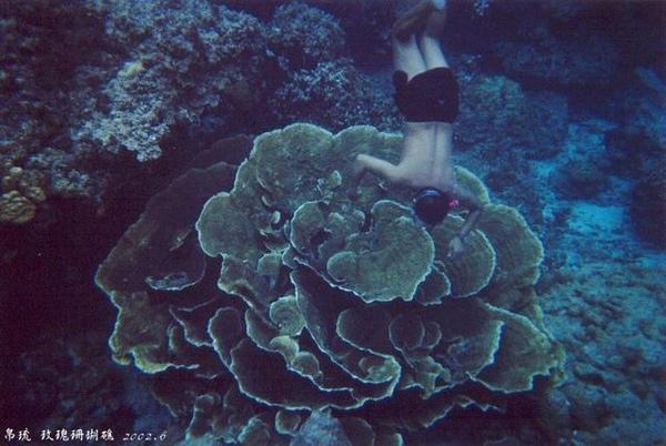 玫瑰珊瑚礁~~大吧!