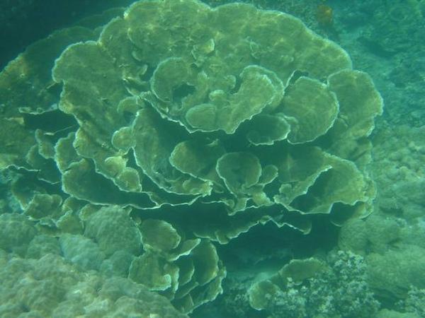 玫瑰珊瑚礁~~要多少年才能長這麼大