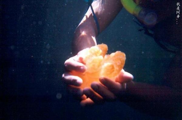 水母湖~~全世界唯一無毒水母