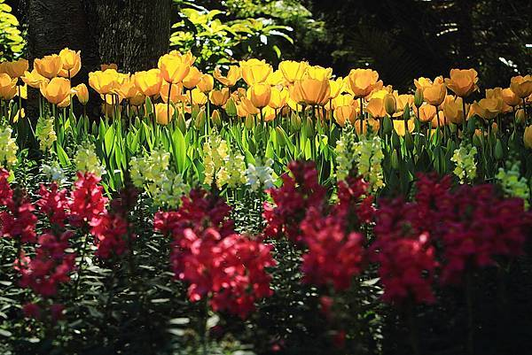 Tulip_0002.JPG