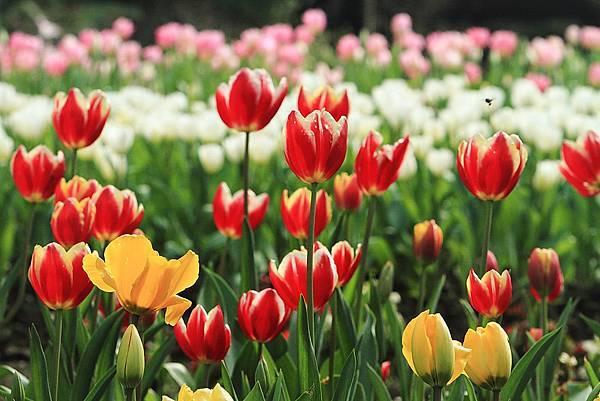 Tulip_0003.JPG