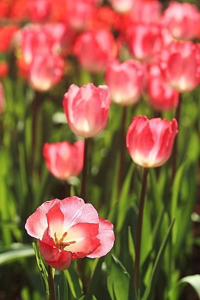 Tulip_0004.JPG
