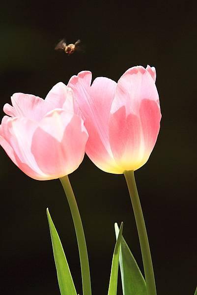 Tulip_0005.JPG