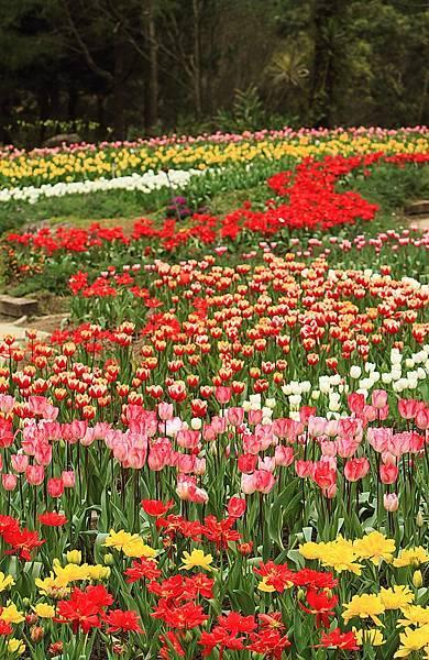 Tulip_0006.JPG