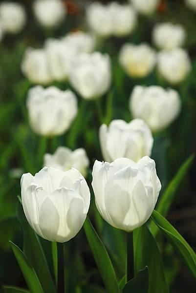 Tulip_0011.JPG