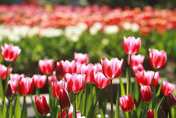 Tulip_0012.JPG
