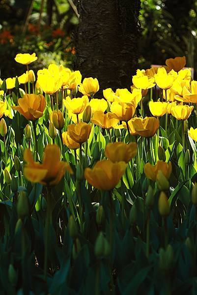 Tulip_0015.JPG