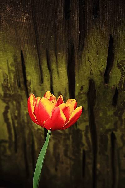 Tulip_0016.JPG