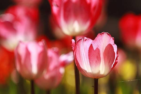 Tulip_0023.JPG