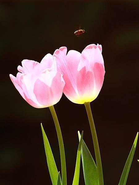 Tulip_0024.JPG