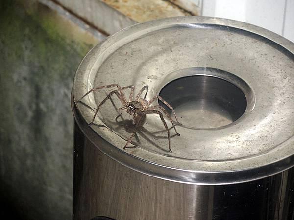 側門大蜘蛛