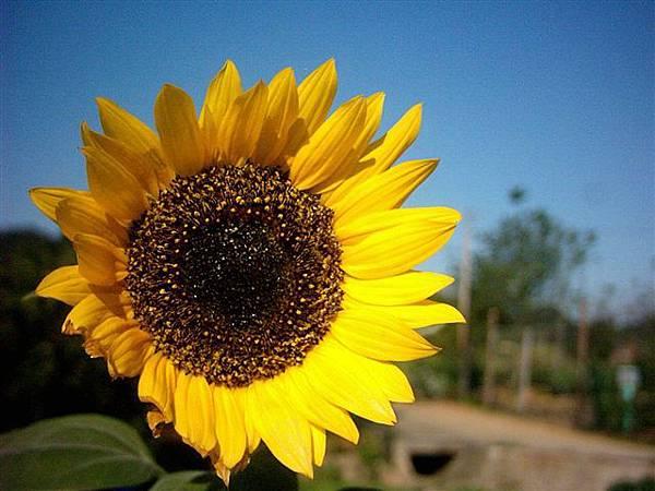 7-11也種向日葵