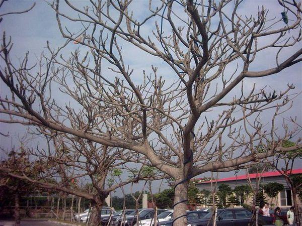 冬天的欖仁樹