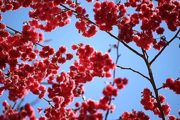 梅山-櫻花盛開01