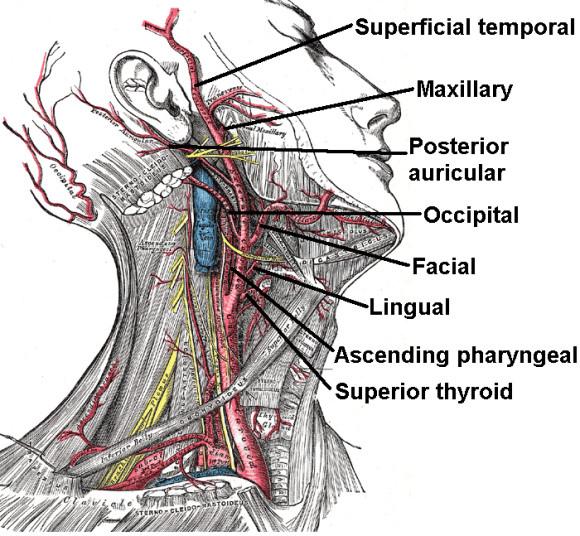 external-carotid-artery-580x536