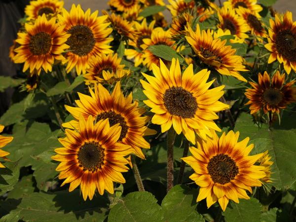 新品種向日葵