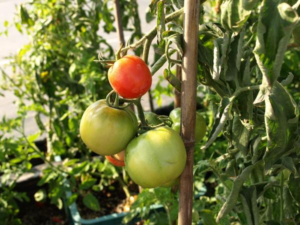 新品種蔬果區--應該看得出來是蕃茄吧!!哈