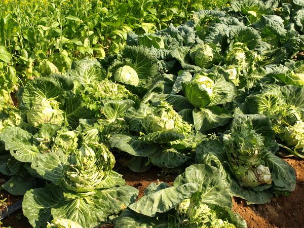 新品種蔬果區--高麗菜....新品種是指爆掉的嘛!?呵呵.....