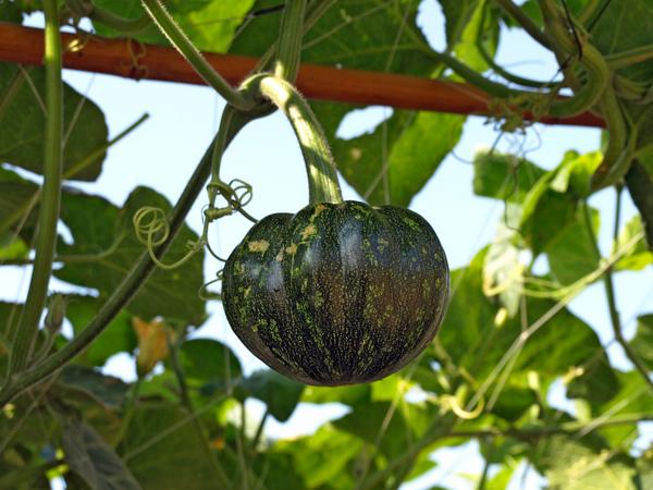 新品種蔬果區--第一次看到南瓜