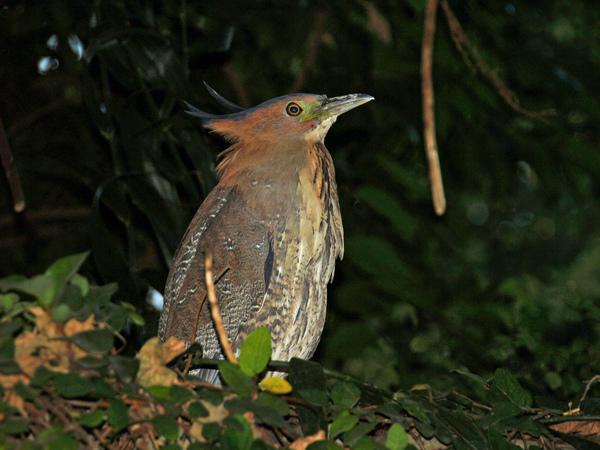 黑冠麻鷺---可驕傲的哩!