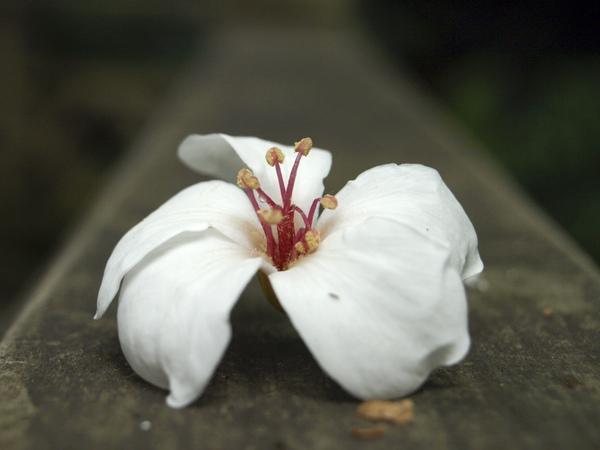 搶先開花的桐花