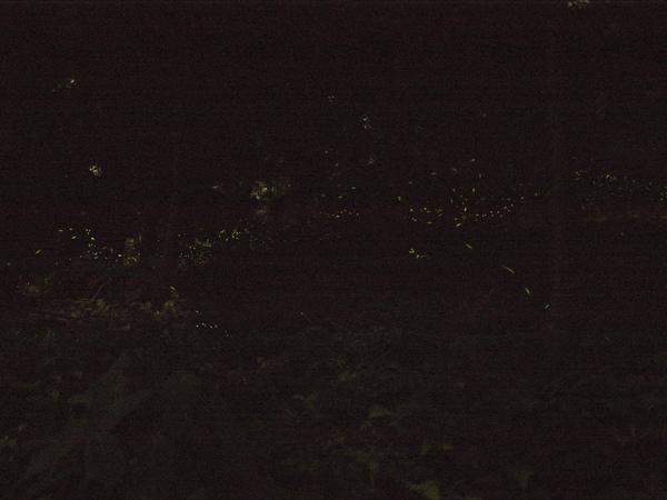令人充滿怨念的螢火蟲...拍不出來就是拍不出來