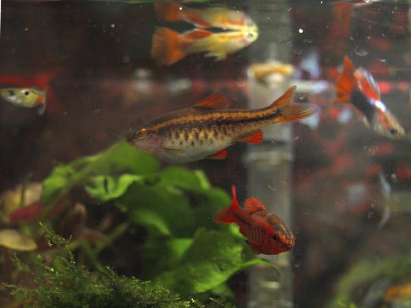 我最愛的櫻桃燈(母)...下方是公櫻桃燈...後方是孔雀魚