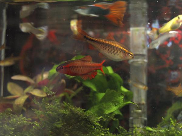 好不容易才一起拍到兩隻櫻桃燈...周圍一堆孔雀魚