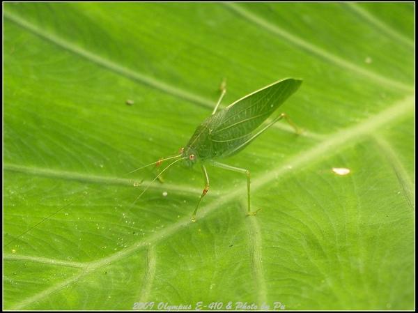 ㄟ!應該是螳螂或是蚱蜢的一種...我實在是個昆蟲癡
