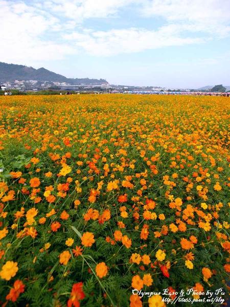 2009新社花海節~波斯菊