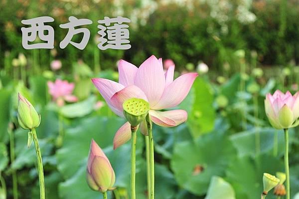 lotus-853679_960_720