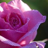 a-rose